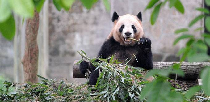 Naming Contest Held for Giant Panda Cub in SW China