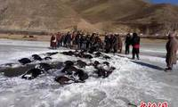 Drowned yak removed from river in northwest China