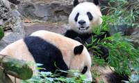 East China city to build giant panda research and breeding center