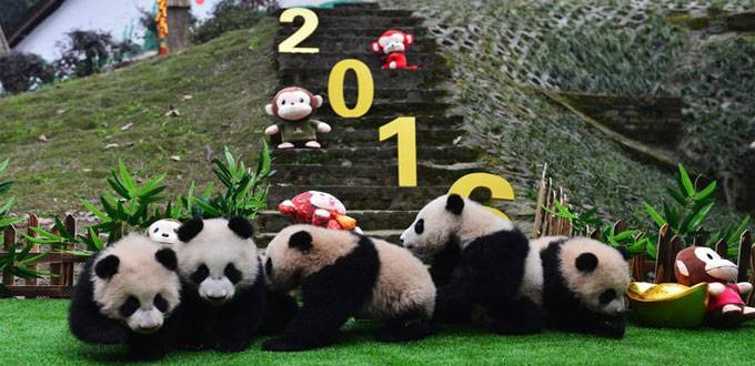 Special New Year Greetings for Panda Cubs in Sichuan