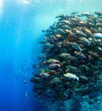 Shoal in rush hour mania